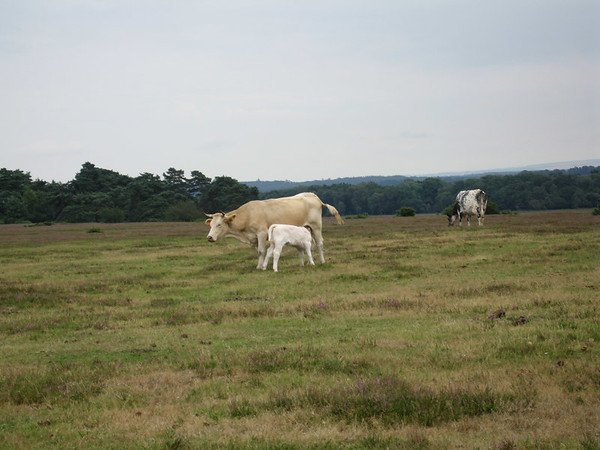 The New Forest in Hampshire in July 2005